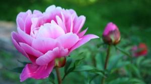 peonies_flowers-1024x576