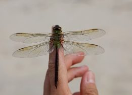 green darner dragonfly, female