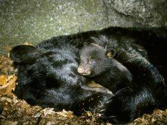black-bear-