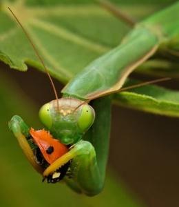lady.mantis